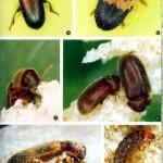 Käferbefall